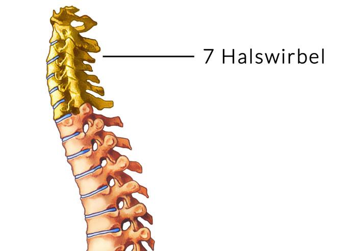 Halswirbelsäule mit den 7 Halswirbeln